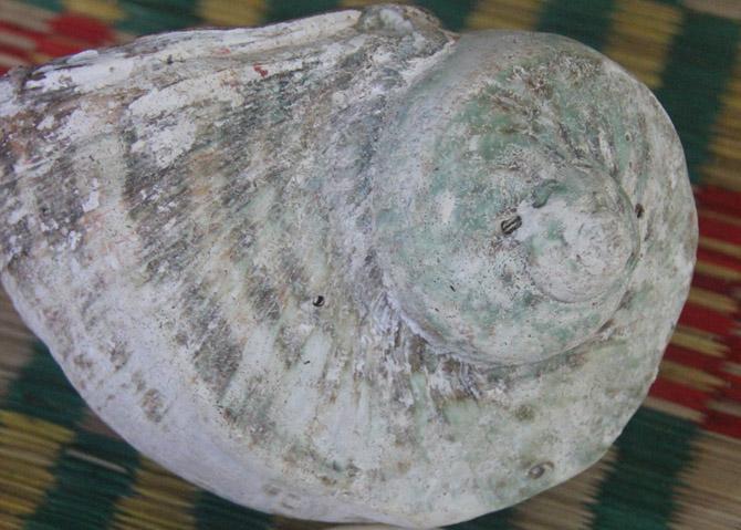 Chiêm ngưỡng vỏ ốc xà cừ quý hiếm giá ngàn đô ở Lý Sơn