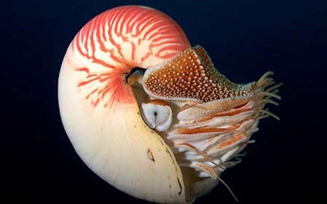 Cận cảnh loài ốc quý hiếm, siêu đắt đỏ