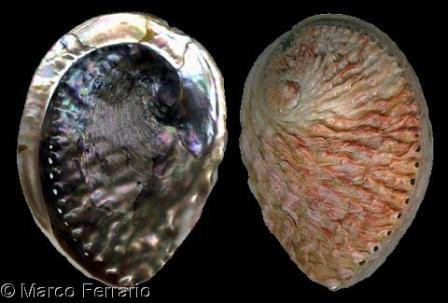 Vỏ sò các loại